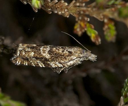 49.201 Ancylis unguicella, Co Louth