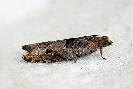 49.223 Holly Tortrix, Rhopobota naevana, Co Donegal