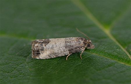 49.224 Spilonota ocellana Bud Moth, Co Wexford
