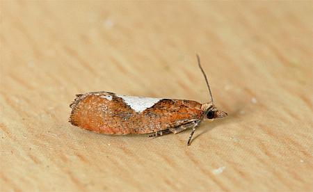 49.231 Epinotia brunnichana, Co Wexford
