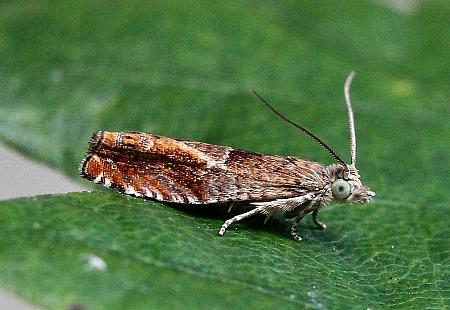 49.248 Nut Bud Moth, Epinotia tenerana, Co Donegal
