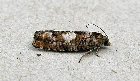 49.251 Epinotia rubiginosana, Co Wicklow