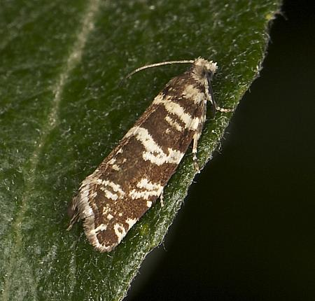49.252 Epinotia tedella, Co Louth