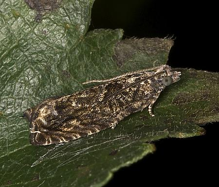 49.255 Epinotia nisella, Co Louth
