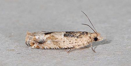 49.261 Crocidosema plebejana, Co Wexford
