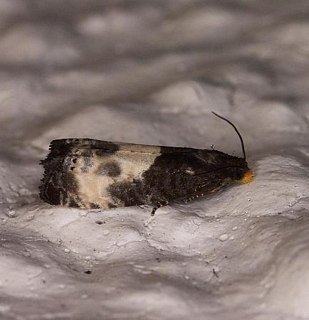 49.292 Notocelia cynosbatella, Co Louth