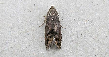 49.341 Cydia splendana, Co Wexford