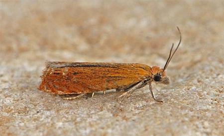 49.345 Lathronympha strigana, Co Clare