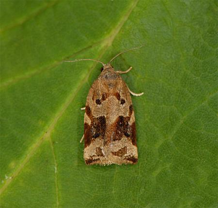 49.015 Archips xylosteana, Variegated Golden Tortrix, Co Wexford