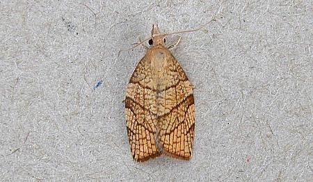 49.024 Pandemis corylana, Co Wexford