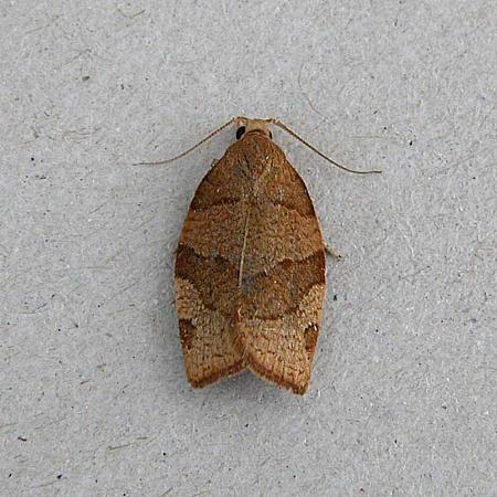 49.025 Pandemis cerasana Barred Fruit-tree Tortrix, Co Wexford