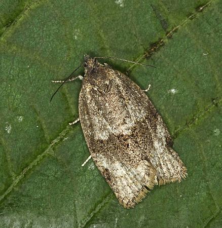 49.028 Syndemis musculana, Co Louth