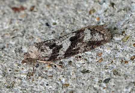 49.056 Cnephasia conspersana, Co Leitrim - female