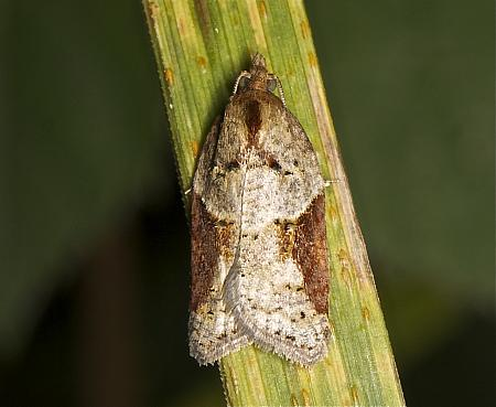 Acleris laterana, Co Louth