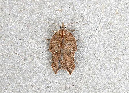 49.071 Acleris emargana, Co Wexford