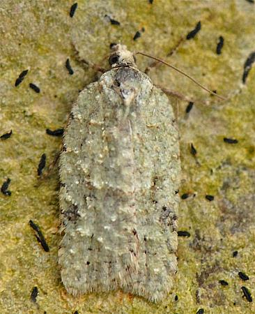 49.087 Acleris literana, Co Wexford
