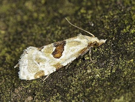 49.128 Aethes rubigana, Co Louth