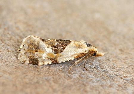 49.128 Aethes rubigana, Co Mayo