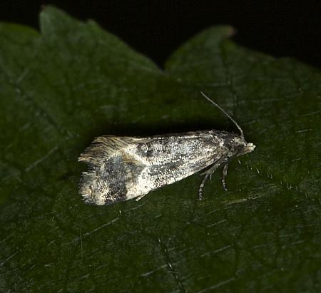 Cochylis nana, Co Louth