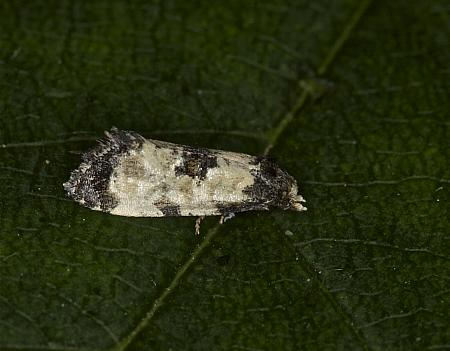 49.137 Cochylis dubitana, Co Louth