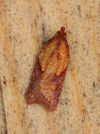 Acleris aspersana, Co Leitrim