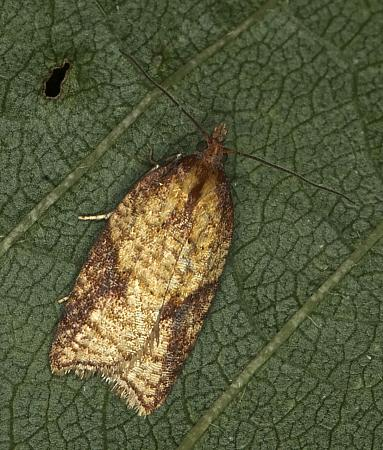 Acleris aspersana, Co Louth