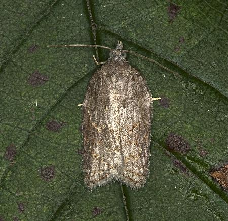 49.069 Acleris sparsana, Co Louth