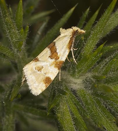 Aethes cnicana, Co Louth