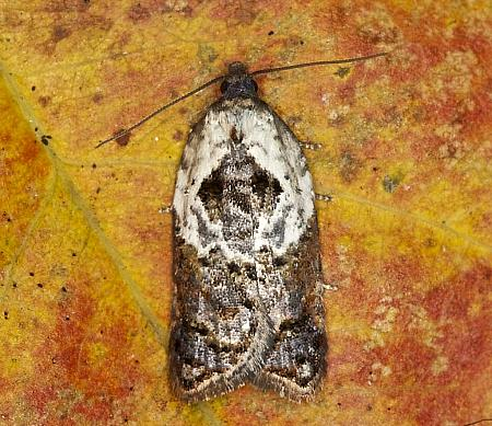 49.077 Garden Rose Tortrix, Acleris variegana, Co Louth