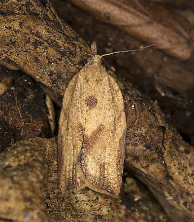 49.039 Light Brown Apple Moth, Epiphyas postvittana, Co Louth