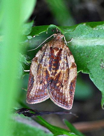 49.039 Light Brown Apple Moth, Epiphyas postvittana, Co Leitrim