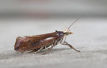 17.01 Ypsolopha parenthesella, Co Wicklow