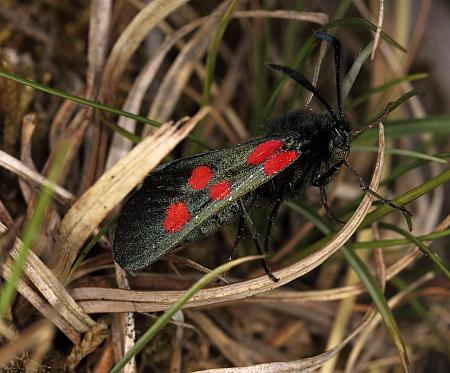 54.009 Narrow-bordered Five-spot Burnet, Zygaena lonicerae, Co Fermanagh