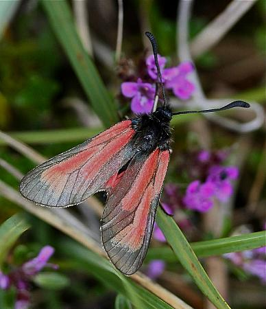 Transparent Burnet, Zygaena purpuralis, Co Clare