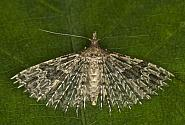 Twenty-plume Moth, Alucita hexadactyla, Co Louth