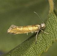Argyresthia brockeella, Co Louth