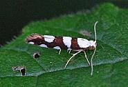 20.011 Argyresthia brockeella, Co. Donegal