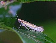 20.013 Argyresthia pygmaeella, Co. Donegal
