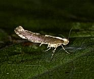 Apple Fruit Moth, Argyresthia conjugella, Co Louth