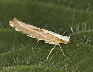 20.024 Argyresthia semitestacella, Co Louth