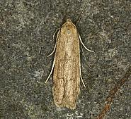 41.003 Blastobasis lacticolella, Co Louth