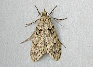 29.001 Diurnea fagella, Co Wicklow