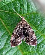 Anthophila fabriciana, Nettle-tap Moth, Co Leitrim