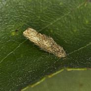 Coleophora serratella, Co Louth