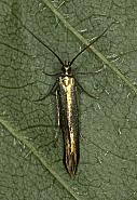 Coleophora deauratella, Co Louth
