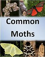 Common Moths