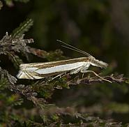 Crambus pascuella, Co Louth