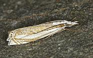 63.083 Crambus uliginosellus, Co Louth