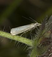 63.088 Crambus perlella, Co Louth