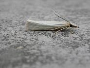 63.088 Crambus perlella, Co. Meath